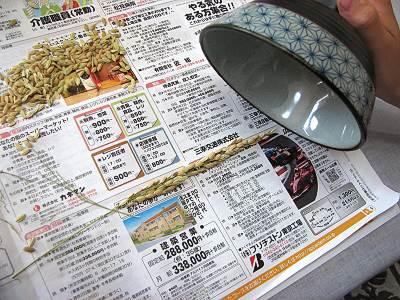 バケツ稲、茶碗を使って脱穀