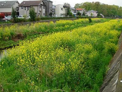 空堀川の菜の花?