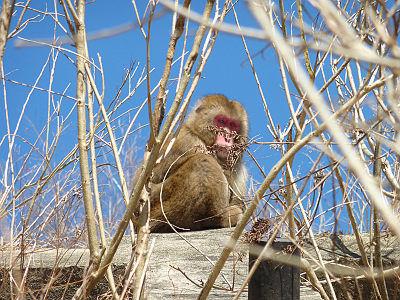 奥四万湖の猿