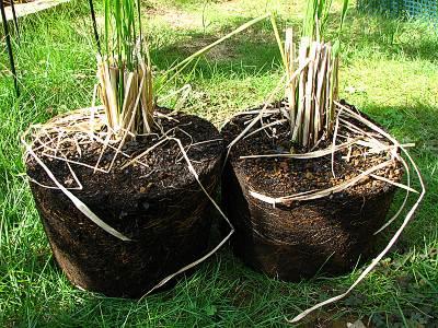 バケツ稲の根っこ