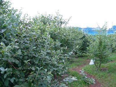 坂間園芸さんのブルーベリー畑