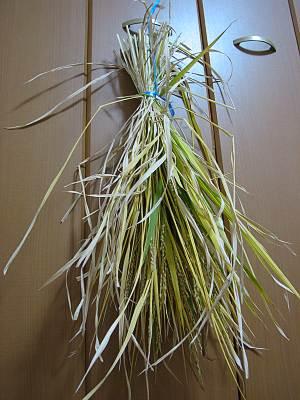 バケツ稲の稲乾燥中