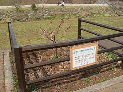 金山橋近くの元気な河津桜?