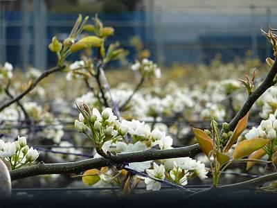 多摩湖梨の花1