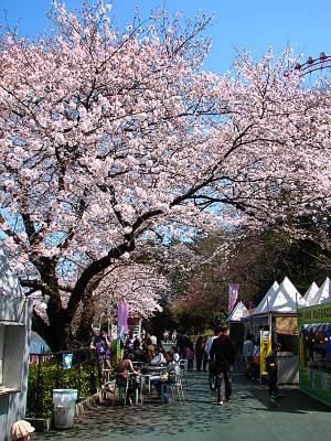 西武園ゆうえんちの桜 その2