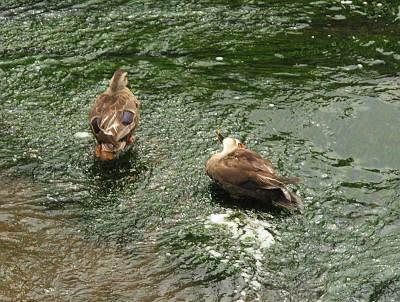 善福寺川のカモ
