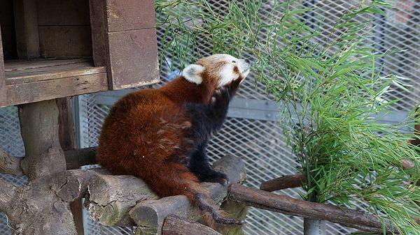 レッサーパンダを見る