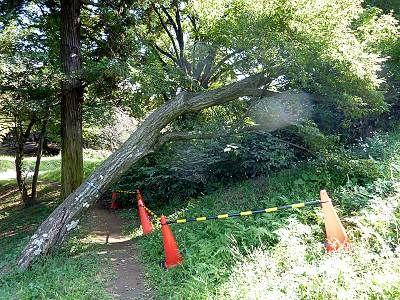 狭山富士の倒木