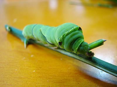 アゲハの幼虫 アオムシ