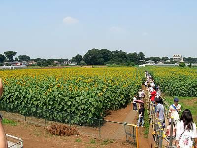 清瀬ひまわりフェスティバル2009