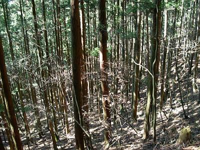 武甲山の杉林