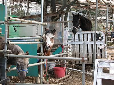 だちょう牧場の馬やポニー