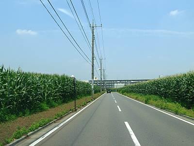 清瀬市のトウモロコシ畑