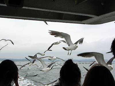 松島遊覧船を追いかけるカモメたち