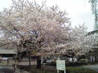 どっかの公園の桜