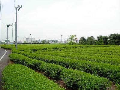 耕心館の周りは茶畑