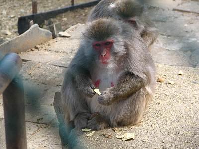 おさるの山にいる猿