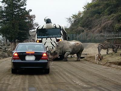 群馬サファリパーク サイに頭突きされる車(ウソです)