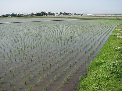 富士見市の田んぼ