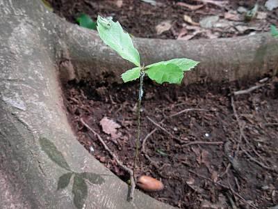 中里緑地でドングリが芽を出した