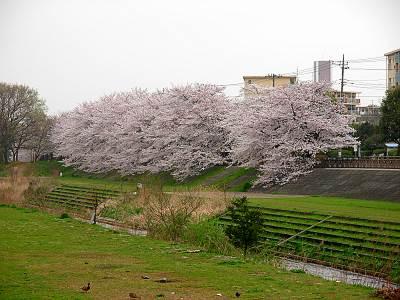柳瀬川沿いの桜