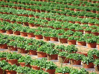 鉢植え畑の拡大図