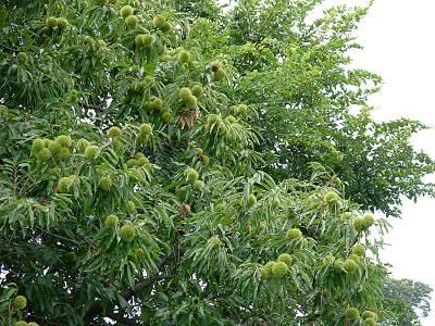 国有地の栗の木