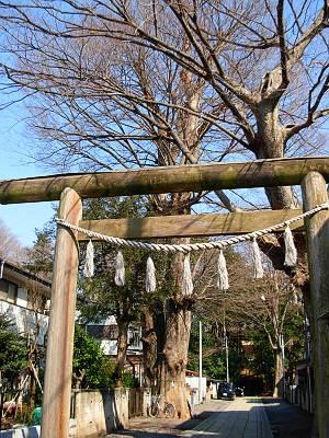 神明社 所沢市内で一番大きいケヤキ
