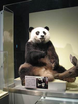 お母さんパンダ、ホアンホアンの剥製
