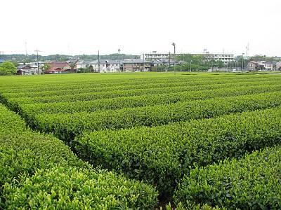 牛沼小学校近くの茶畑