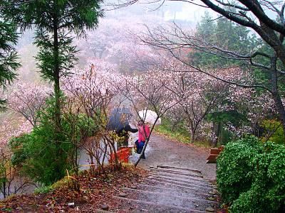 桜山森林公園の冬桜