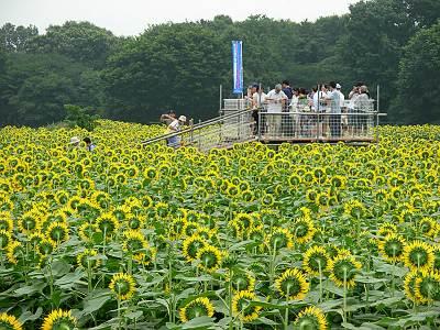 清瀬市のひまわり畑には展望台あり
