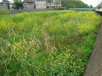 空堀川の菜の花??