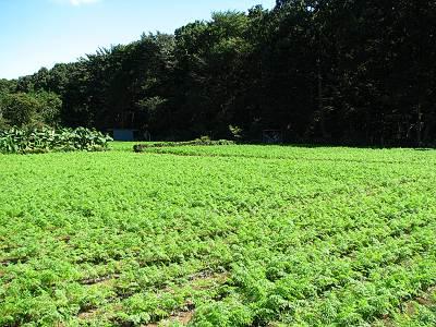 所沢カルチャーパークに接した私有地のニンジン畑