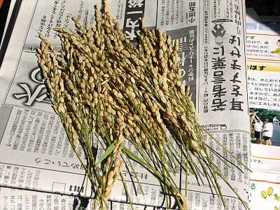 バケツ稲の脱穀準備