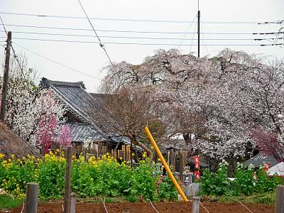金仙寺のしだれ桜