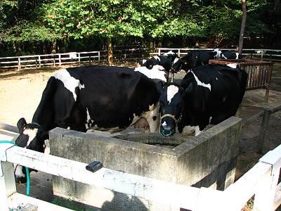 乳牛コーナー