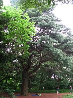 松山緑地保全地域のヒマラヤスギ