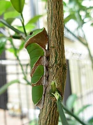 さなぎになりかけのアゲハの幼虫