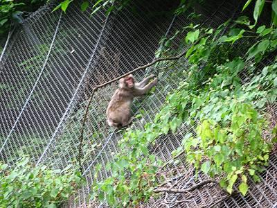 網上りする野生の猿