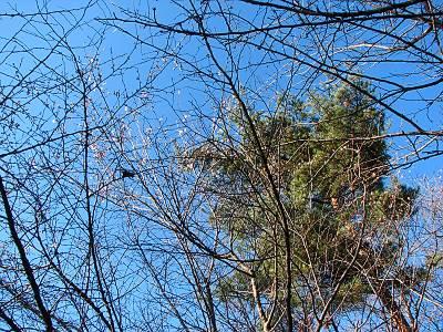 物見山の冬桜