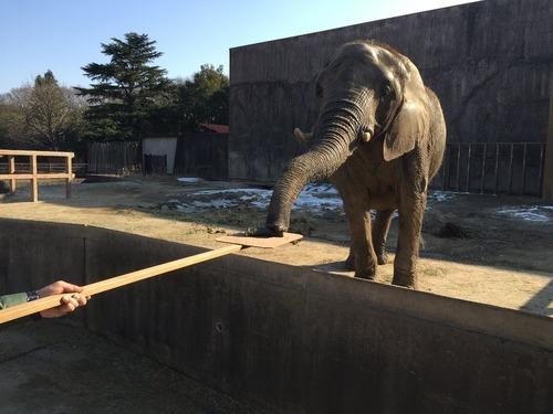 アフリカゾウが恵方巻きを食べている画像2