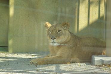 ライオンのココ
