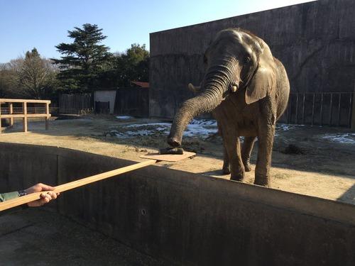 アフリカゾウが恵方巻きを食べている画像