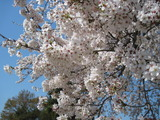 H23.4.12桜