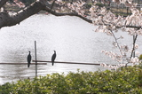 桜とカワウ