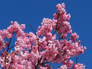 2020.3.20陽光桜