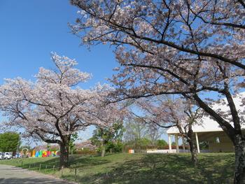 2021.4.3桜(ステージ)