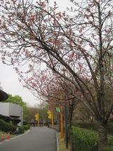 H23.4.15 八重桜3