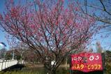 H21.3.7寒緋桜(遠景)